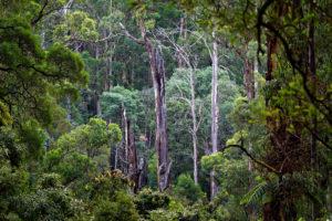 Dandenong Ranges Forest